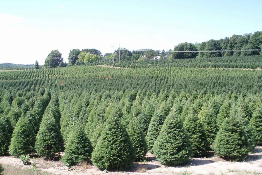 19356bc1ee8 Buy Christmas Trees Online - Order Direct from Farm