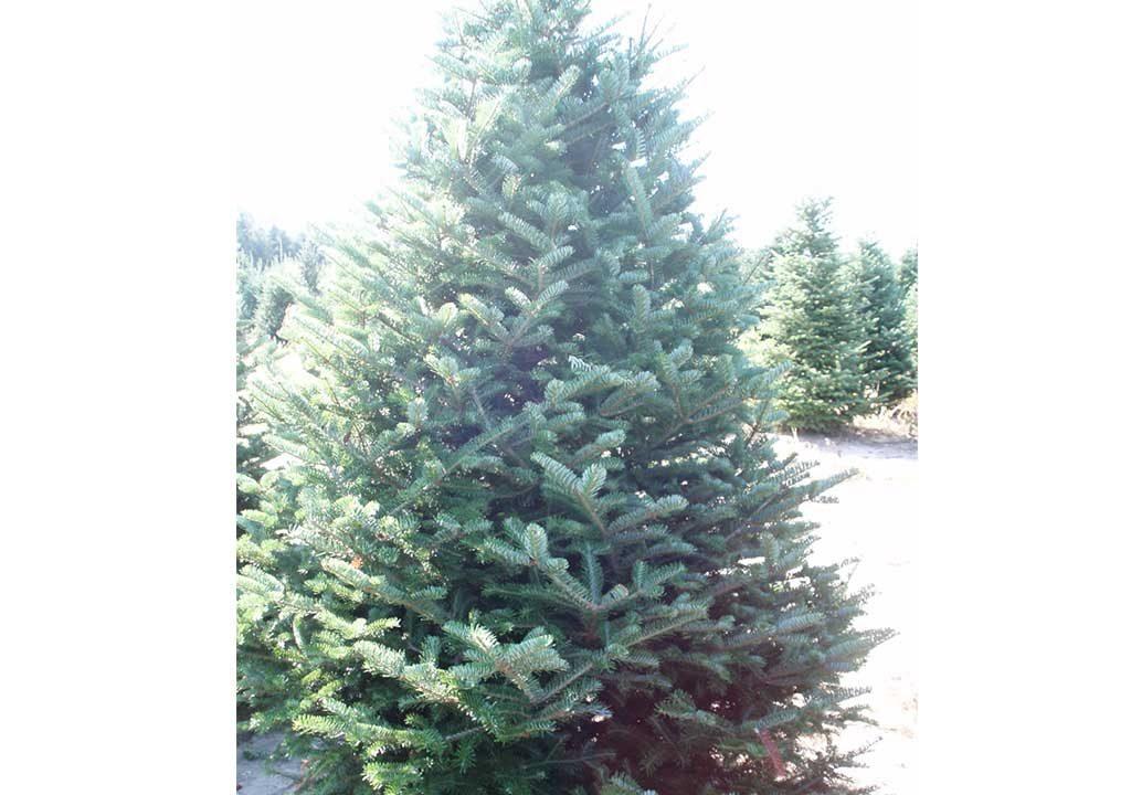 view - Silvertip Fir Christmas Tree